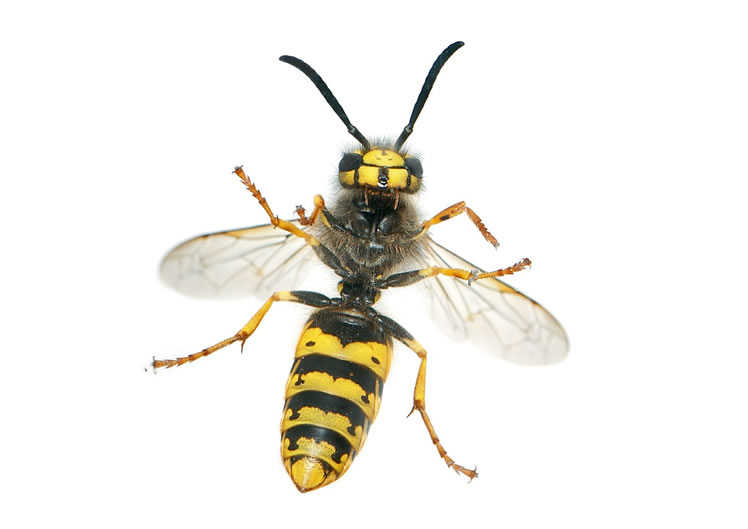 Wasp Control Knutsford 24/7, same day service, fixed price no extra!