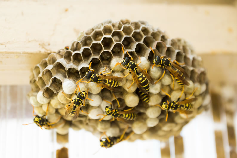 Wasp Control Warrington - Wasp nest treatment 24/7, same day service, covering Warrington, Stockport and cheshire, fixed price no hidden extras!